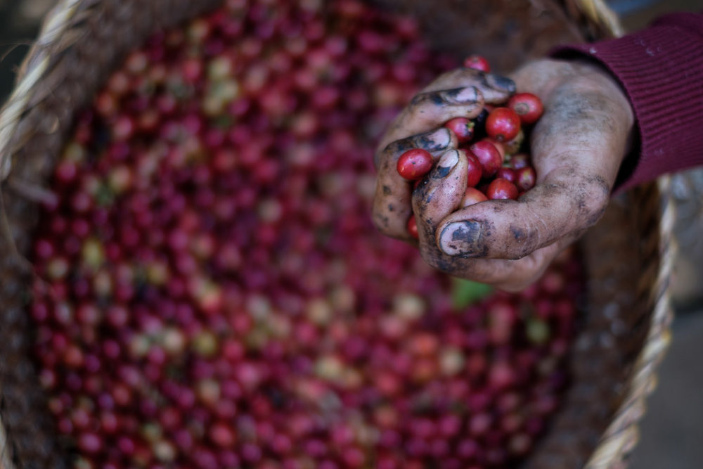 The coffee cherry is high in sugars and thus becomes quite sticky and will often cause the picker's hands to become covered in whatever it touches.